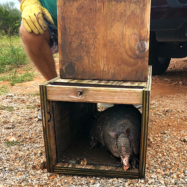 Photo - armadillo being released from trap
