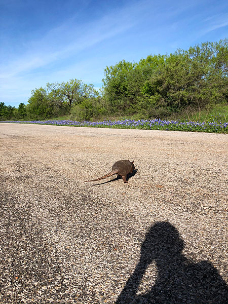 Photo - Armadillo in the middle of the road