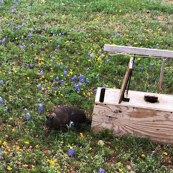 Photo - Armadillo in wildflowers