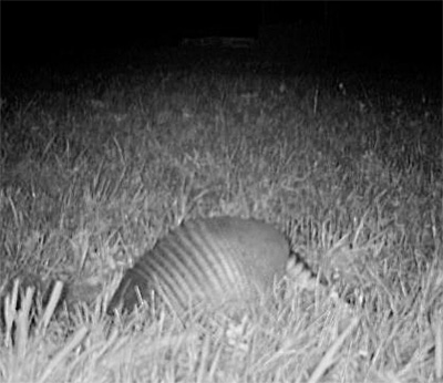 Photo - Armadillo digging in turtle nest