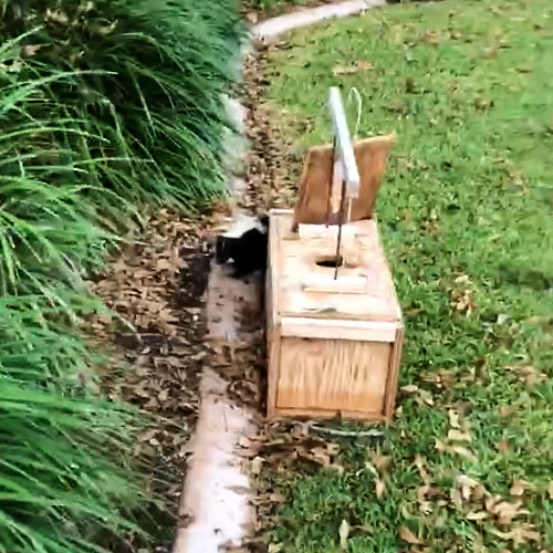 Photo - skunk emerging from armadillo trap