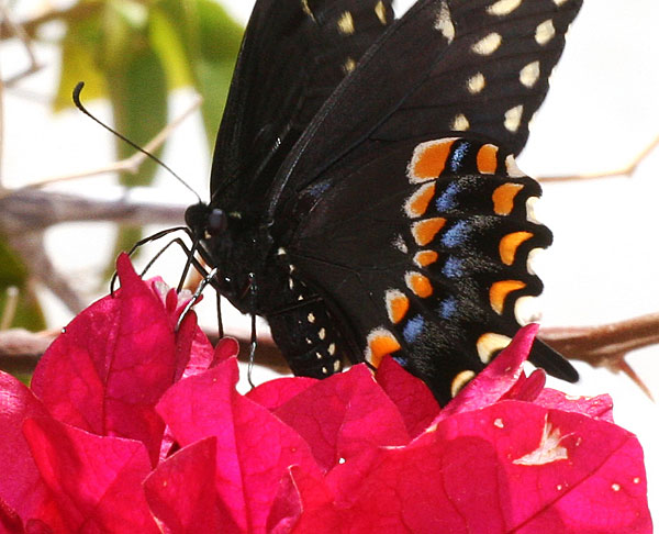 Photo - Black swallowtail butterfly and bougainvillea - Midland, Texas - 2009
