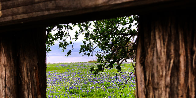 Photo - Bluebonnets framed by a gap in a wooden fence