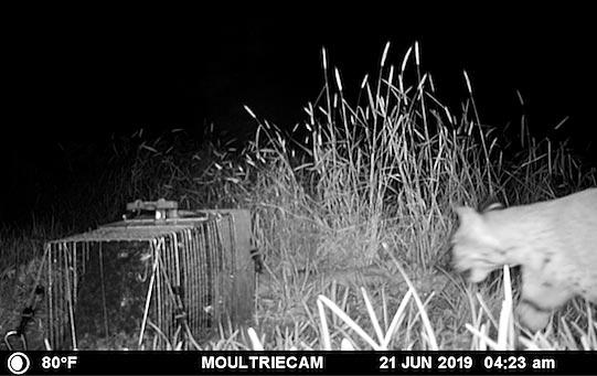 Photo - Bobcat at night