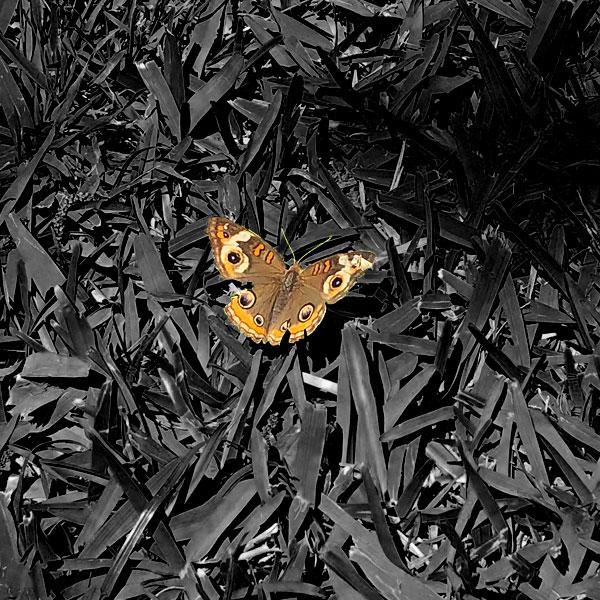 Photo - Common Buckeye butterfly