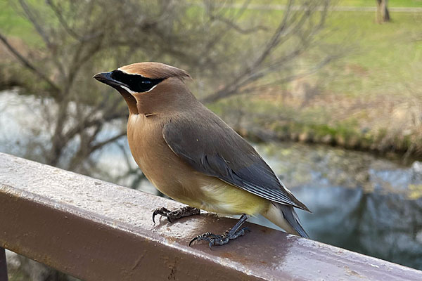 Photo - Cedar waxwing perched atop our back fence