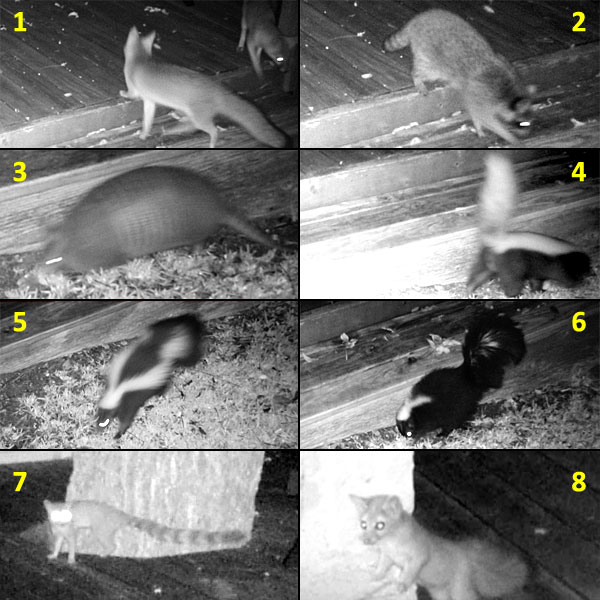 Photo collage - nighttime trail camera photos of various wildlife in our back yard