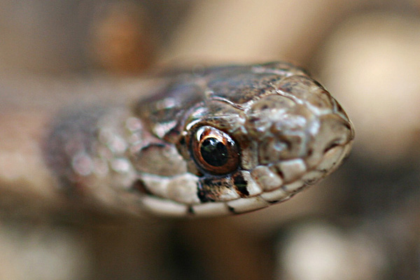 Photo - Closeup of the eye of a DeKay's brownsnake