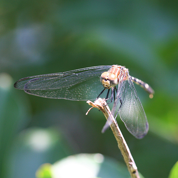 Photo - Dragonfly on crape myrtle