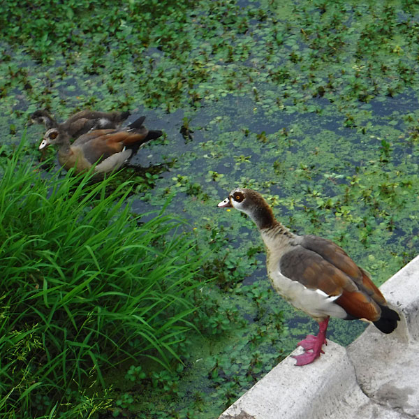 Photo - Egyptian geese - two adults and a juvenile