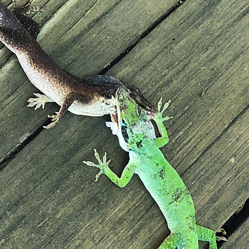Photo - two anoles