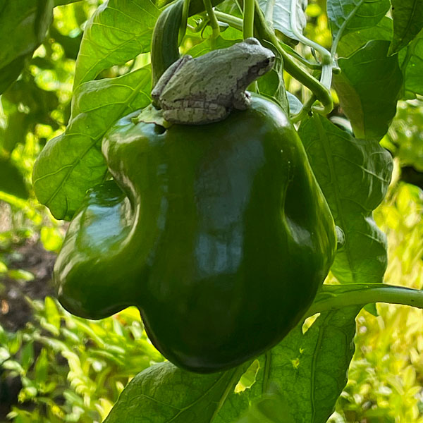 Photo - Gray tree frog sitting atop a bell pepper