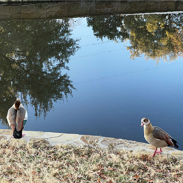 Photo - A pair of Egyptian geese on a creek bank on the golf course