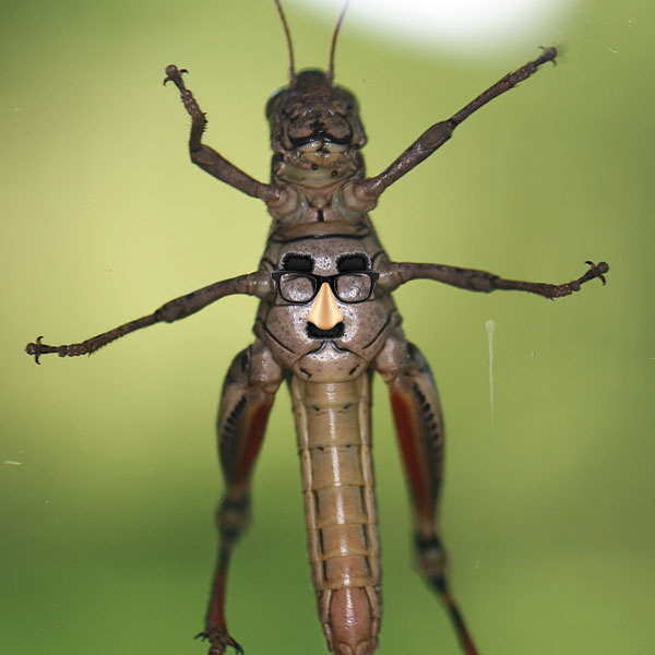Photo - Underside of a grasshopper on a window with a Photoshopped Groucho Marx disguise