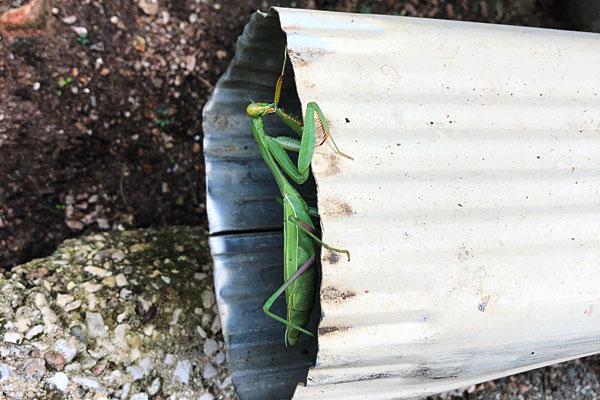 Photo - Green praying mantis