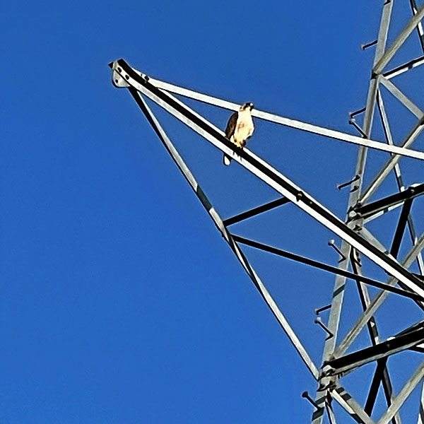 Photo - Red shouldered hawk perched on electrical transmission tower