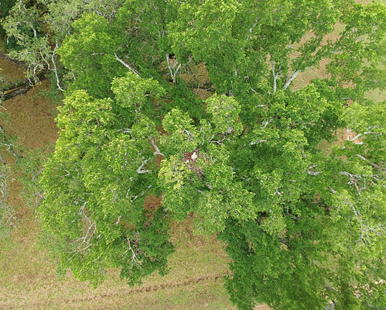 Photo - red-shouldered hawk nest viewed from above'
