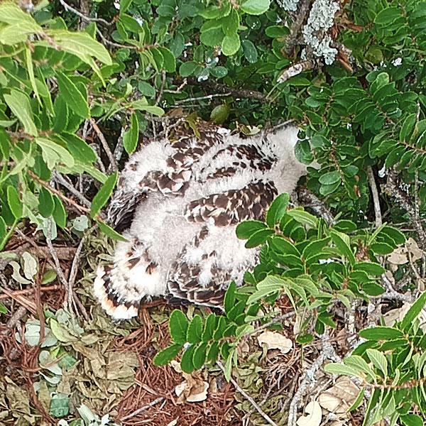 Photo - Red-shouldered hawk nestling