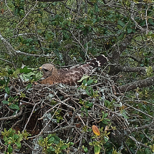 Photo - Closeup of nesting red-shouldered hawk (drone photo)