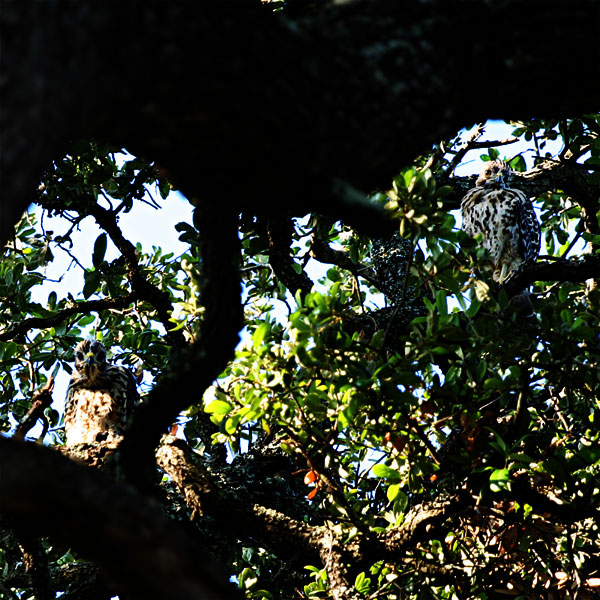 Two juvenile hawks ready to leave the nest