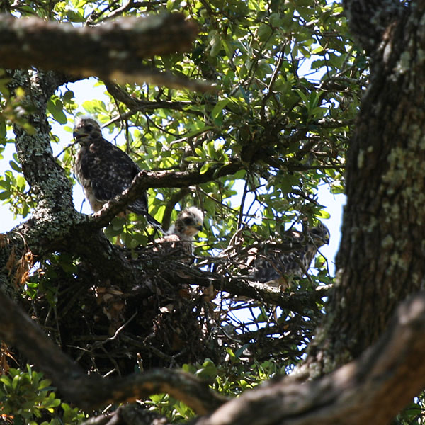 Three fledgling red-shouldered hawks