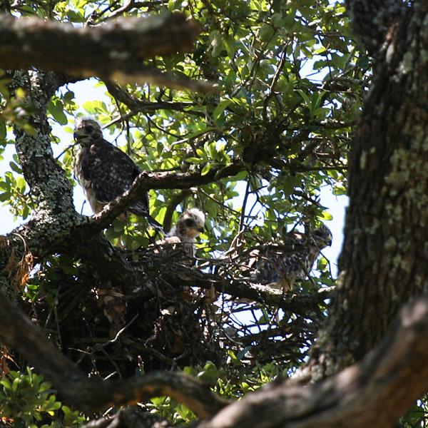 Three fledgling red-shouldered hawks
