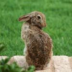 Coy bunny