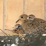Mexican dove family, Midland, Texas
