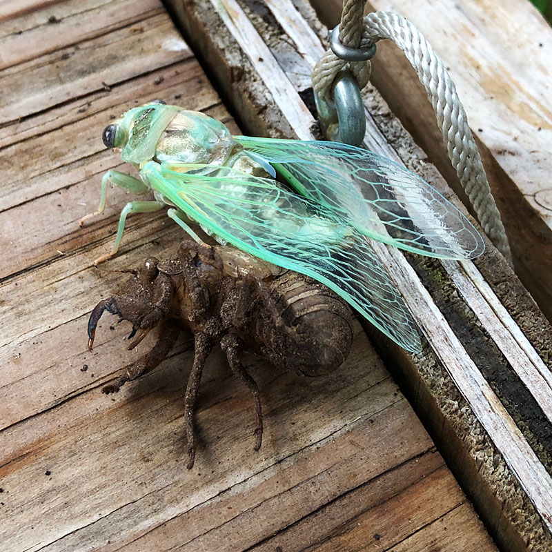 Photo - A cicada emerges from its nymph exoskeleton