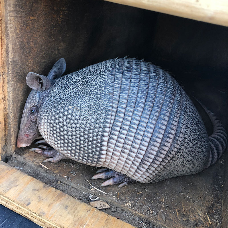 Photo - An armadillo