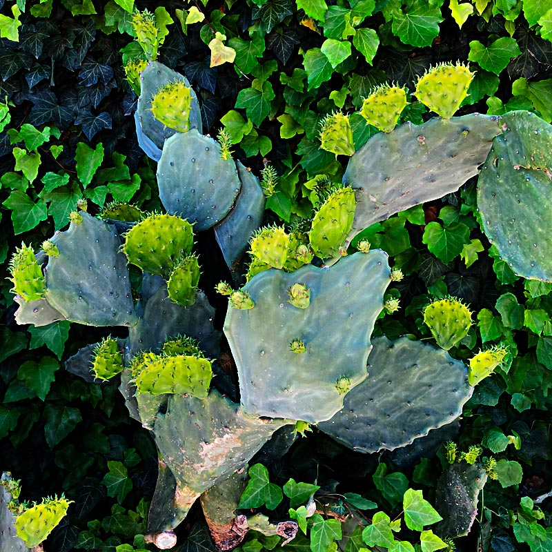 Photo - Cactus pads interspersed with ivy growing on a wall