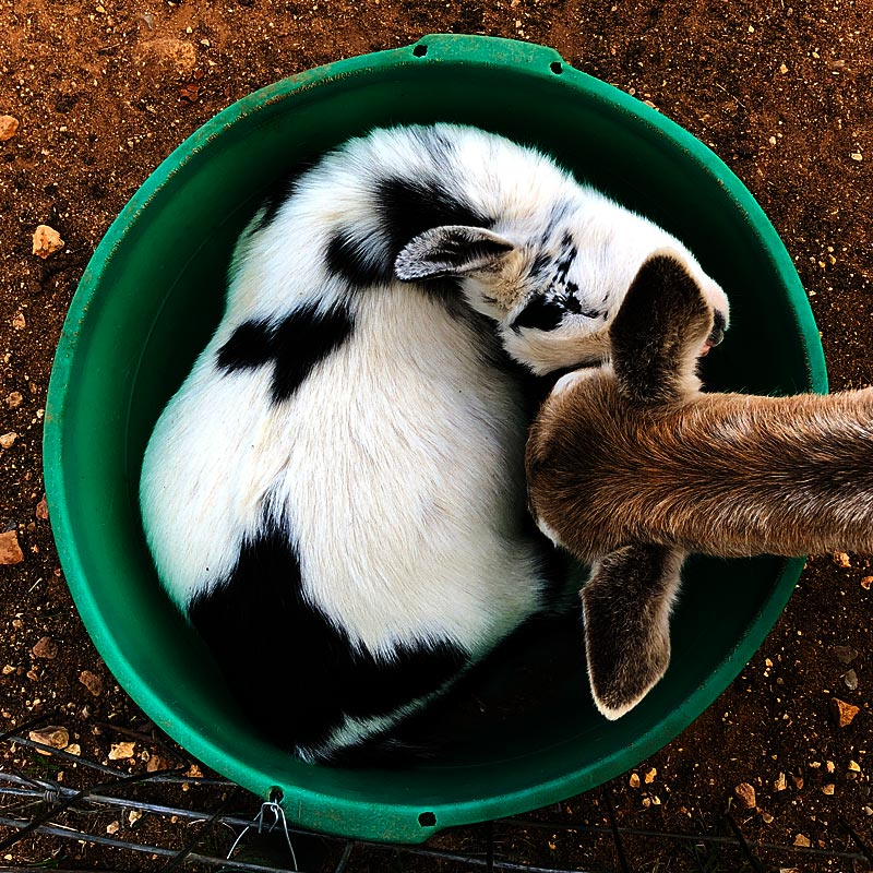 Photo - A small goat curled up inside a tub of goat chow