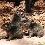 Rock squirrels, Horseshoe Bay, Texas