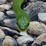 Rough Green Snake, Fredericksburg, Texas