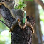 Relaxing squirrel, Midland, Texas