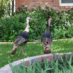 Wild turkeys, Fort Stockton, Texas
