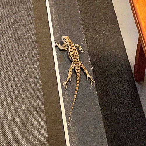 Photo - Texas spiny lizard resting atop our treadmill