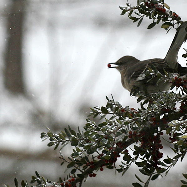 Photo - Mockingbird in yaupon, with a berry in its mouth