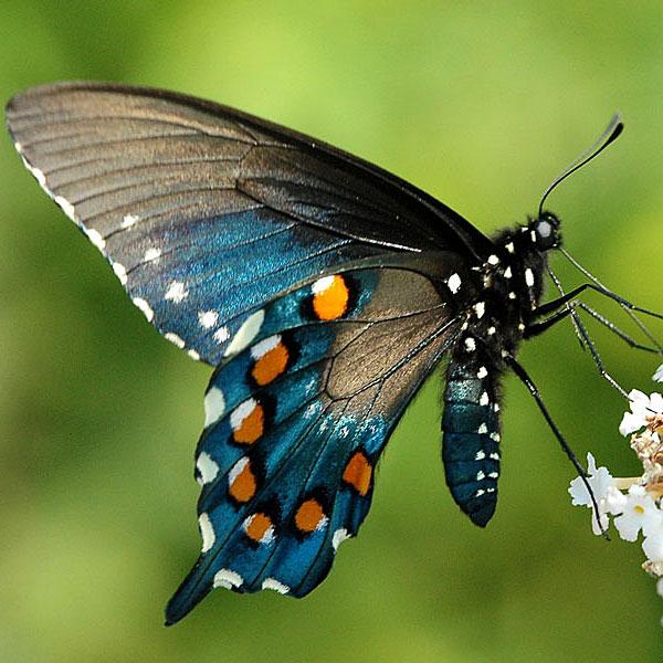 'Photo - Pipevine Swallowtail Caterpillar