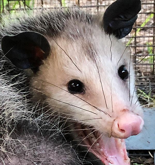 Photo - Closeup of a possum's face