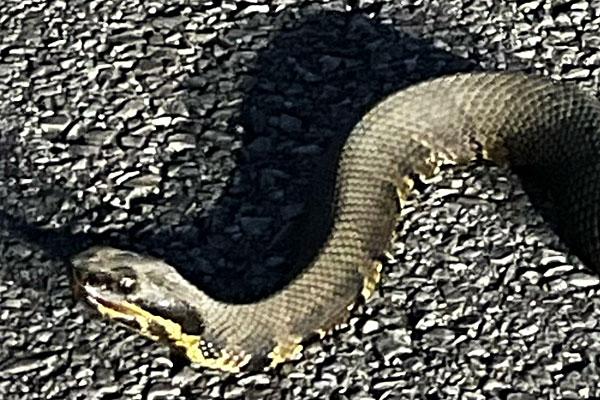Photo - closeup of a cottonmouth snake's head
