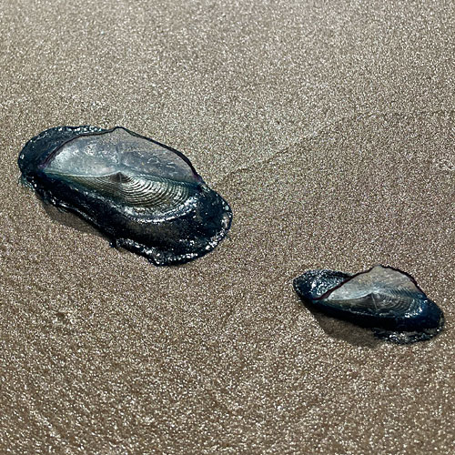 Photo of two Velella on the beach at South Padre Island