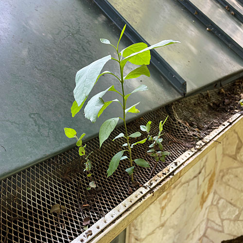 Photo - Tree seedlings coming up in our rain gutters