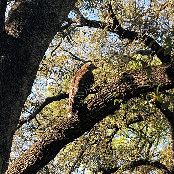 Photo - Red Shouldered Hawk in tree
