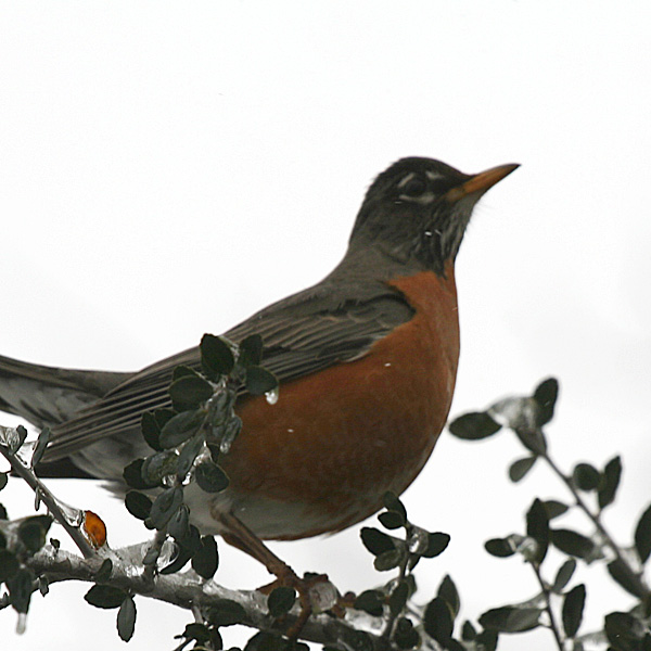 Photo - Robin in yaupon