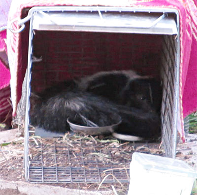 Photo - Skunk resting peacefully inside trap