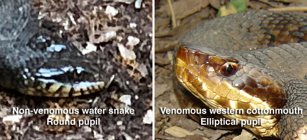 Comparison of eyes of non-venomous and venomous snakes