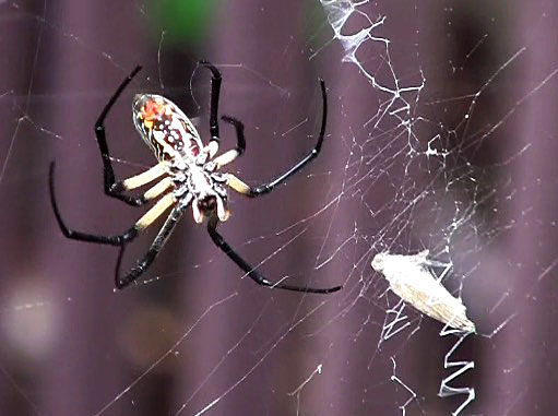 Yellow garden spider with prey trapped in its web