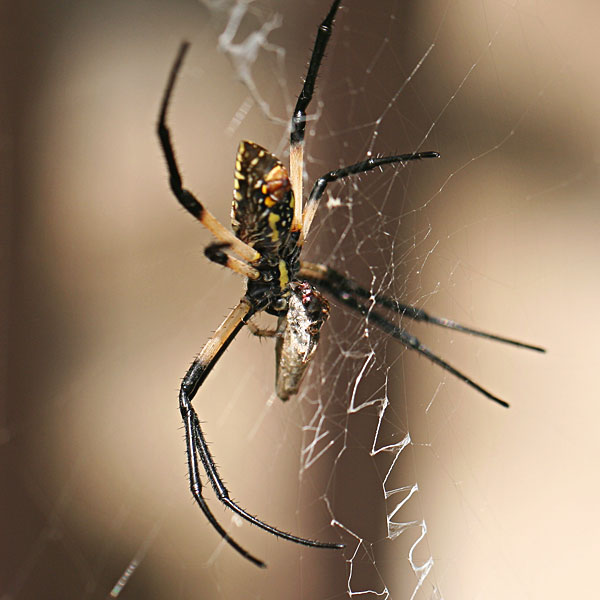 Yellow garden spider feeding on moth