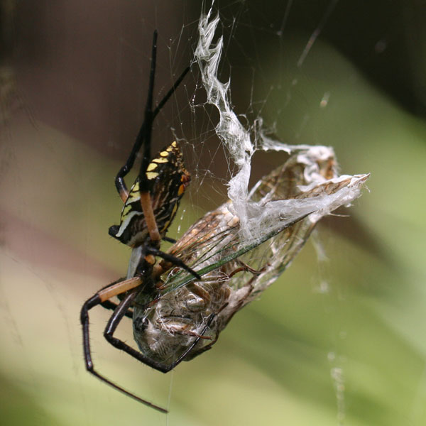 Yellow garden spider feeding on cicada